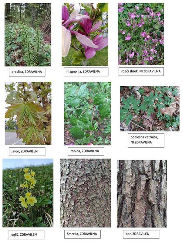 skavti-rastline
